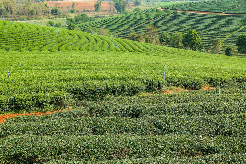 Beautiful tea farm with green environment. In rural of Thailand royalty free stock photography