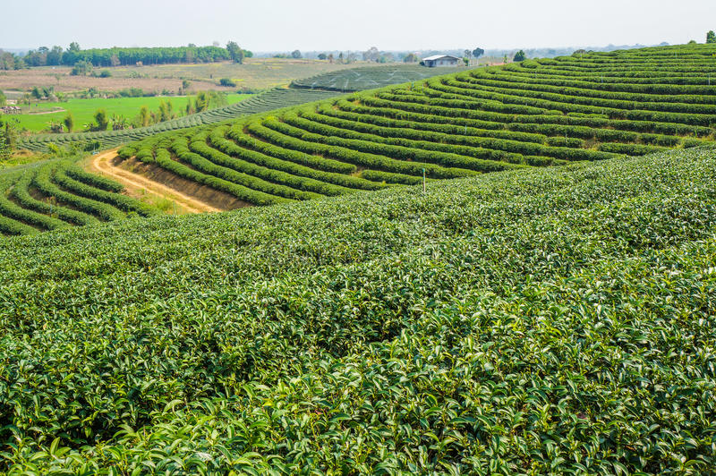 Beautiful tea farm with green environment. In rural of Thailand stock image