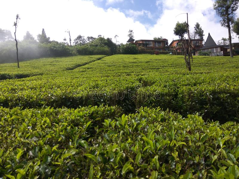 Beautiful tea garden in south India ooty. royalty free stock photography