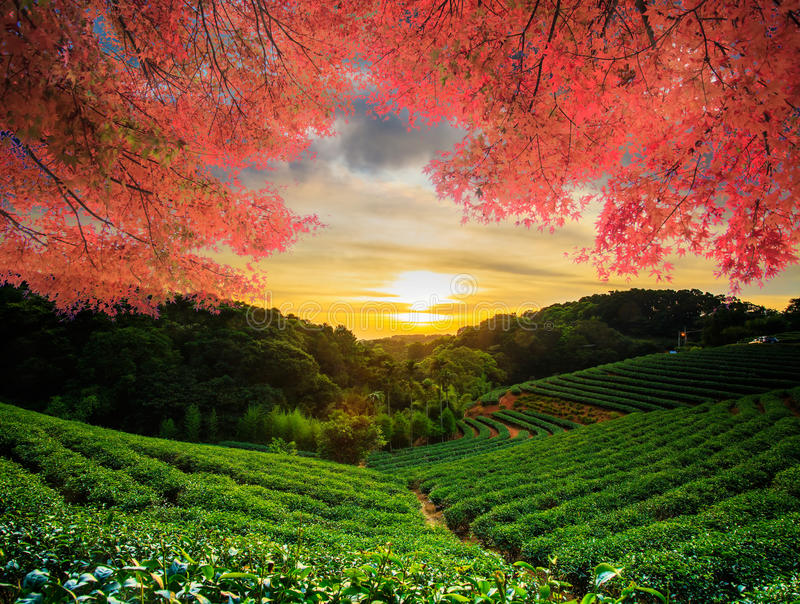 Beautiful tea garden w nice maple. For adv or others purpose use royalty free stock photos