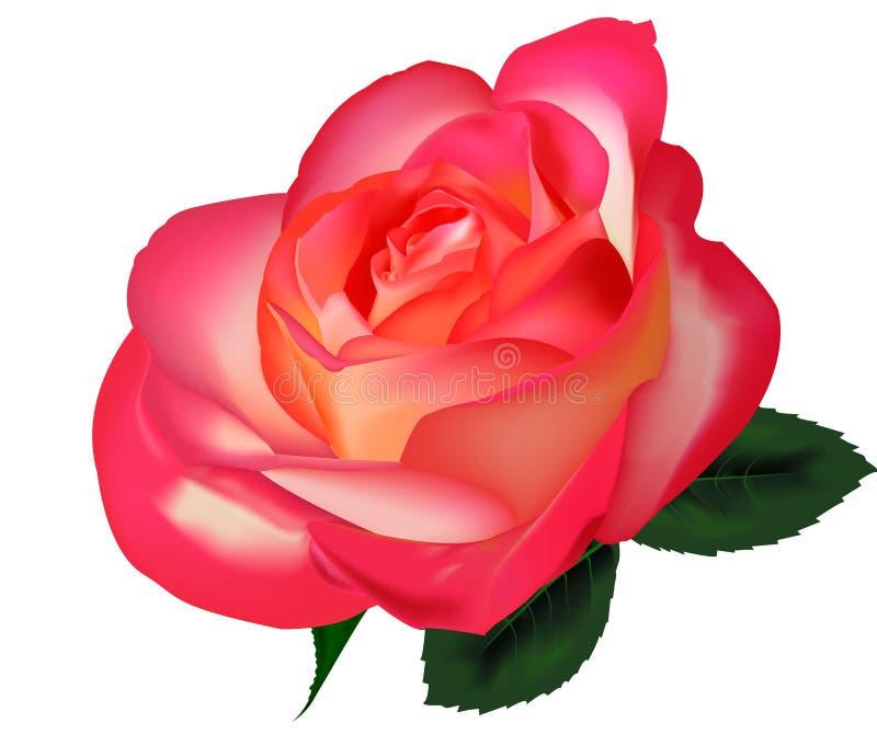 Beautiful tea rose on a white background. Vector. Beautiful tea rose on a white background. Vector illustration stock illustration