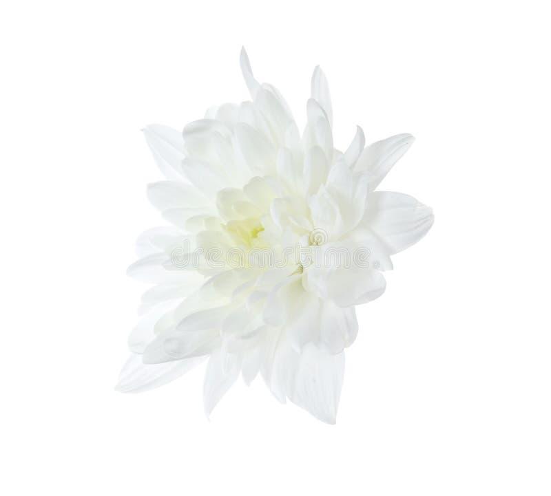Beautiful tender chrysanthemum flower isolated on white stock image