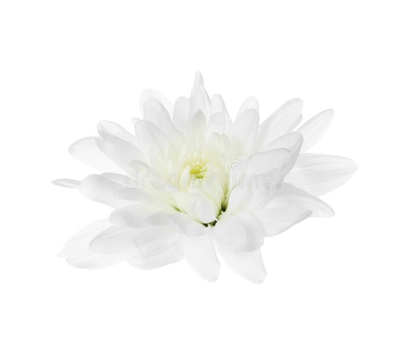 Beautiful tender chrysanthemum flower isolated on white stock photos