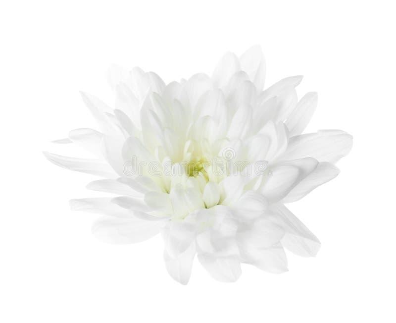 Beautiful tender chrysanthemum flower isolated on white royalty free stock image