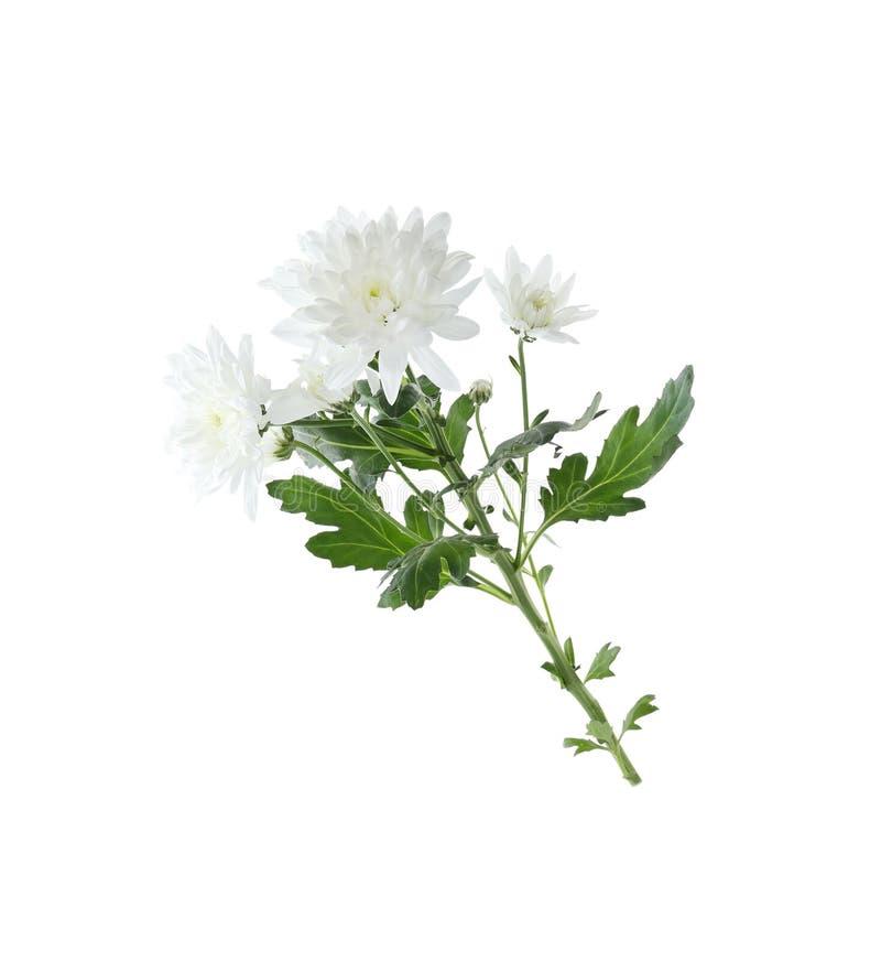Beautiful tender chrysanthemum flowers isolated on white royalty free stock photo