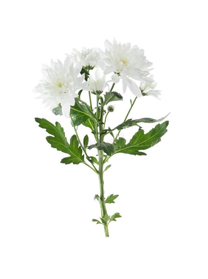 Beautiful tender chrysanthemum flowers isolated stock photo