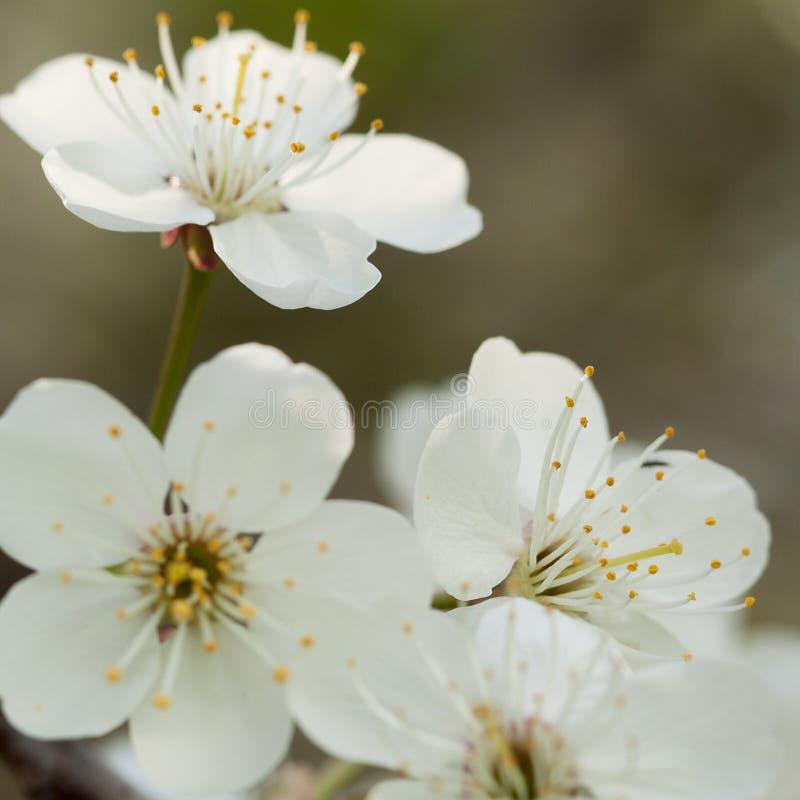 White cherry flowers. Beautiful tender white cherry flowers royalty free stock photography