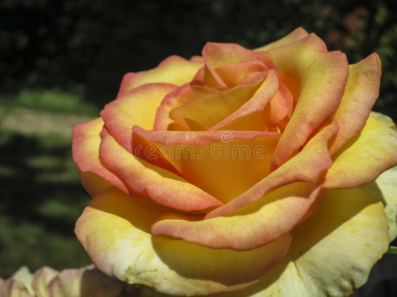 Beautiful tender yellow with red stripes rose Ambiance in natural sunlight. On a dark green background in the garden. Nature concept for design royalty free stock photography