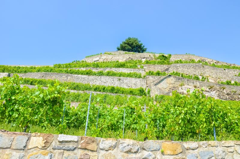 Beautiful terraced vineyards on the slopes by Geneva Lake, Switzerland. Green vineyard on a hill photographed on a sunny summer royalty free stock photography
