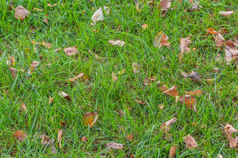 A beautiful texture of brown and yellow dry autumn leaves is on the green grass stock photography