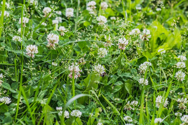 A beautiful texture of white clover flowers on the green grass and leaves background in the park in summer stock photo