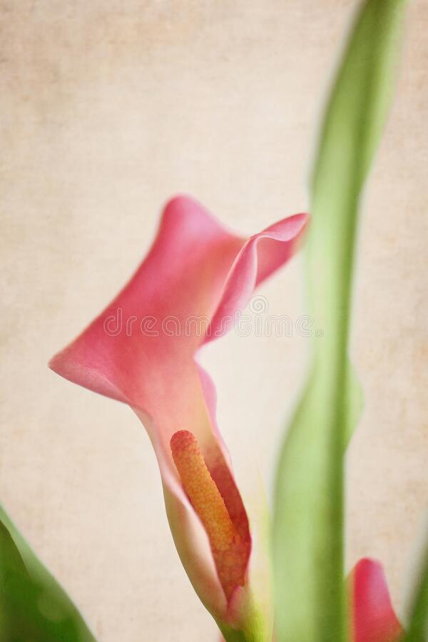 Beautiful Textured Pink Calla Lily stock images