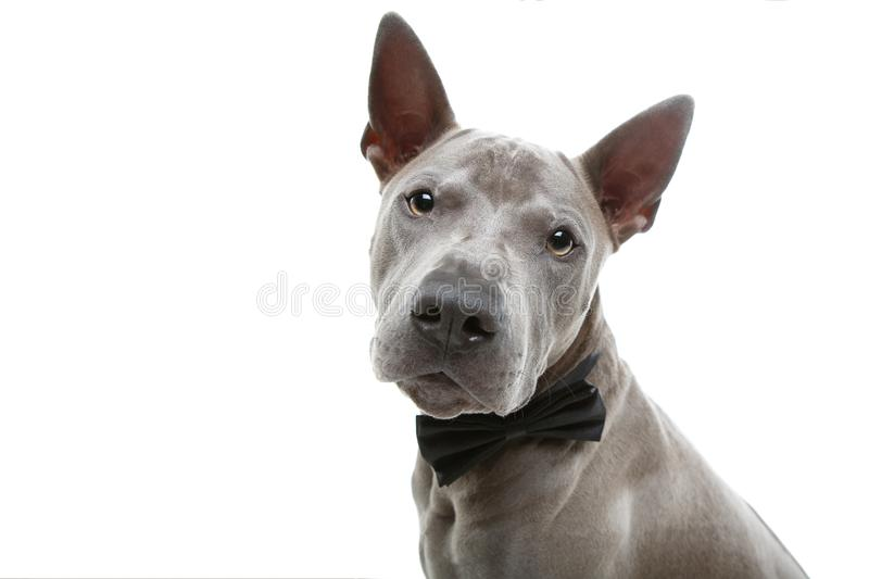 Beautiful thai ridgeback dog in bow tie stock photography
