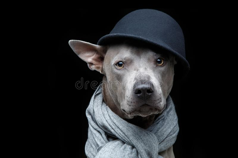 Beautiful thai ridgeback dog in cap and scarf royalty free stock photos