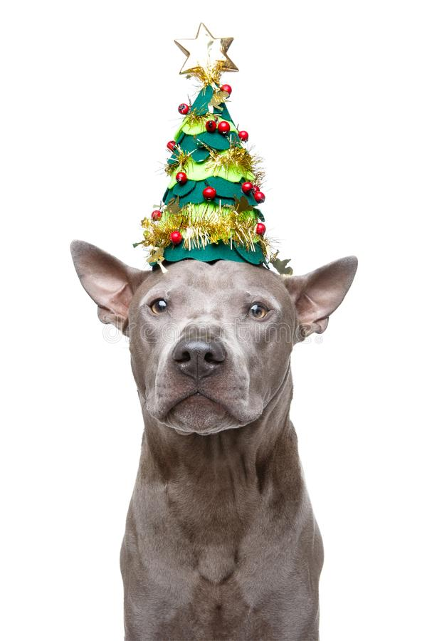 Beautiful thai ridgeback dog in new year tree hat royalty free stock image