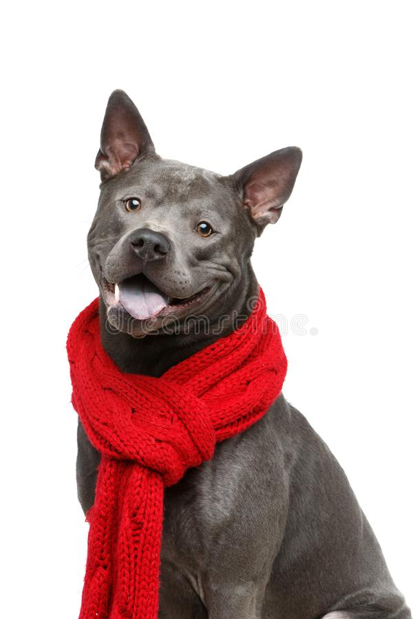 Beautiful thai ridgeback dog in red scarf stock photography