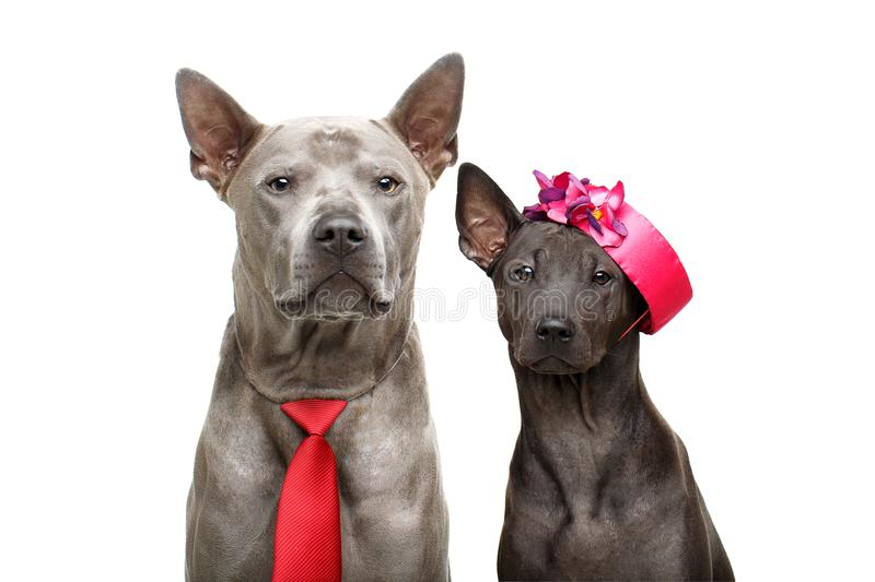 Beautiful thai ridgeback dogs royalty free stock photo