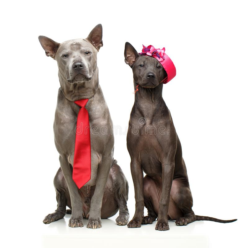 Beautiful thai ridgeback dogs stock image