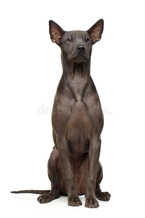 Beautiful thai ridgeback puppy stock photos