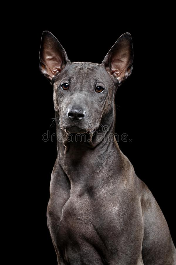 Beautiful thai ridgeback puppy royalty free stock photography