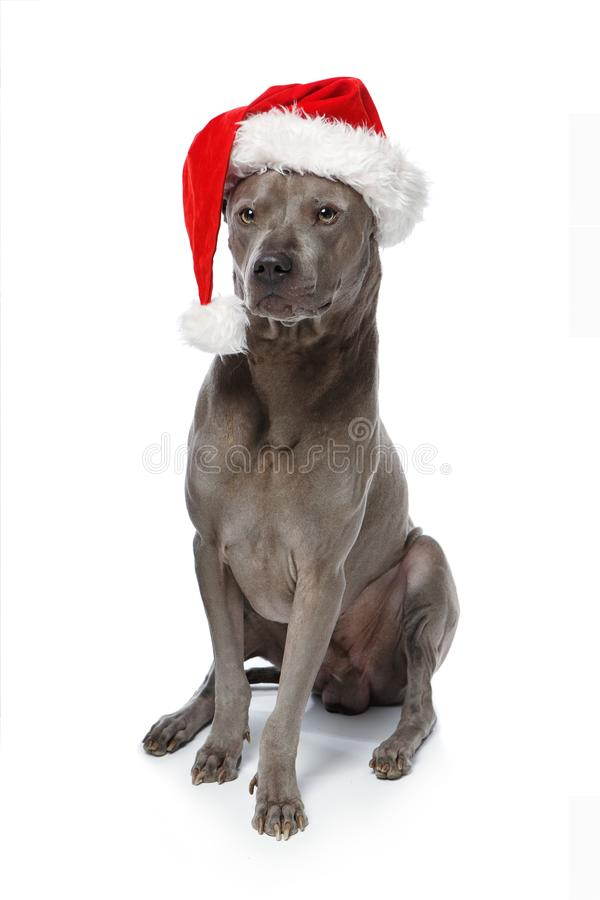 Beautiful thai rifgbeck dog in christmas cap stock images