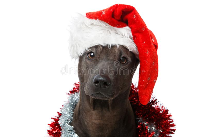 Beautiful thai rifgbeck dog in christmas cap royalty free stock photos