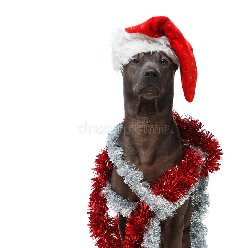 Beautiful thai rifgbeck dog in christmas cap royalty free stock image