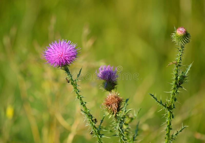 Beautiful thistle. Cárduus. Summer flowers. Magnificent thistle lat. Cárduus, nthorny but original and beautiful flower. Bright and creative nature. n royalty free stock photography
