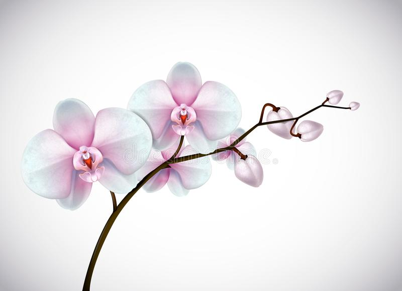 Beautiful three day old white and pink Orchids flowers in branch stock illustration