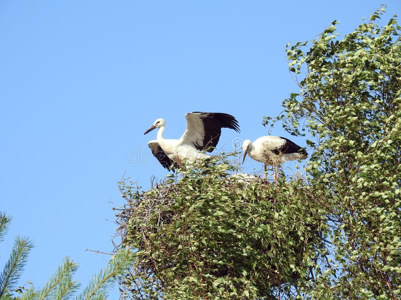 Three young stork birds in nest, Lithuania stock photography