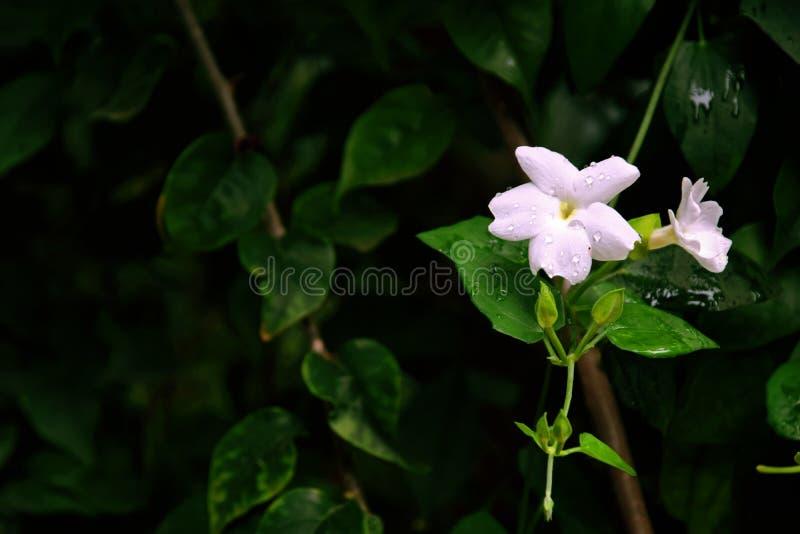 Beautiful Thunbergia Fragrans Flower royalty free stock image