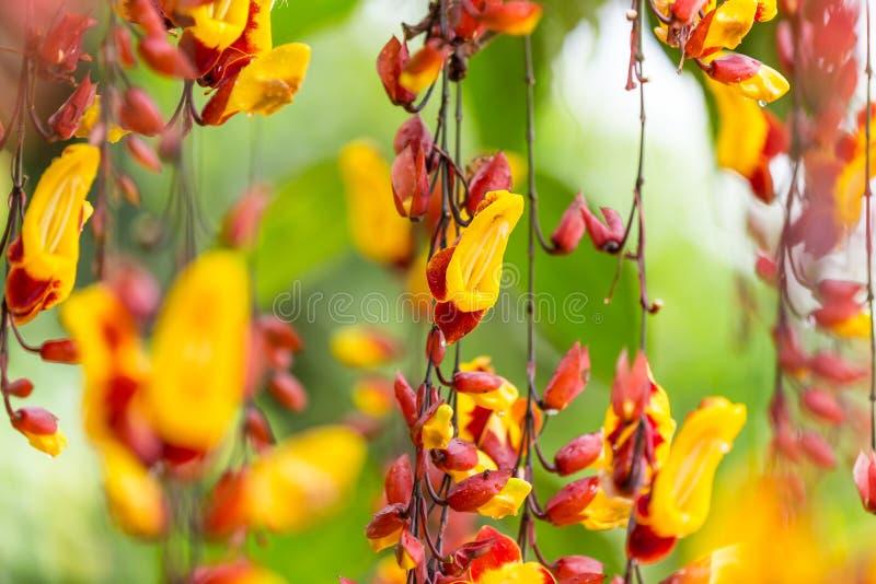 Beautiful Thunbergia mysorensis exotic flower. Beautiful Thunbergia mysorensis exotic flower, close-up stock image