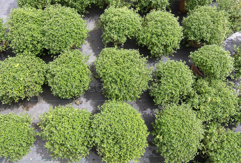 Beautiful thyme herbs full frame. Beautiful thyme herbs, Thymus, in pots full frame. Spring garden series, Mallorca, Spain royalty free stock photo
