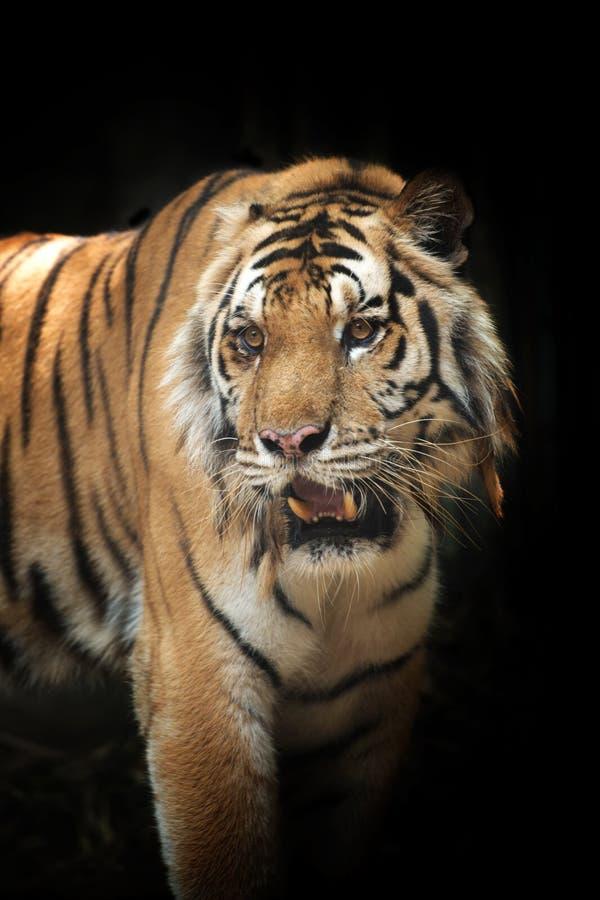 Free Beautiful Tiger Stock Photography - 144811112