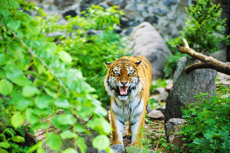 Beautiful tiger. Aggression, anger, angry, animal, asia, background, beast, beauty, bengal, big, black, carnivore, cat, danger, expression, eyes, face, fauna stock photography