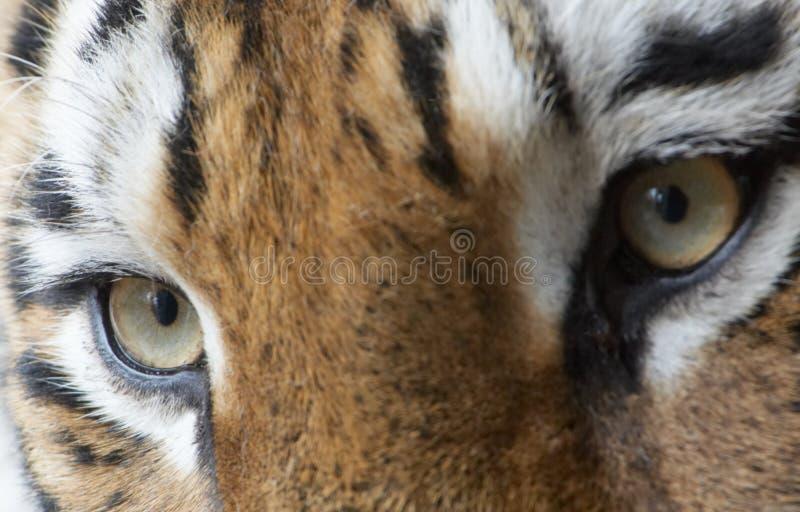 Beautiful tiger royalty free stock photos