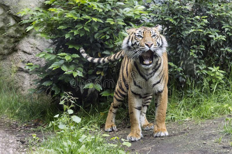 Beautiful tiger in action. Beautiful tiger portrait while`s moving royalty free stock photography