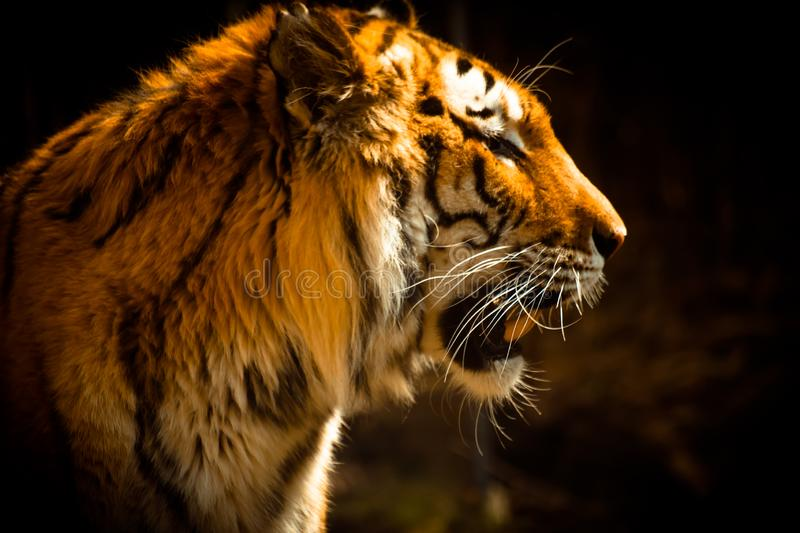 Beautiful Tiger against dark background royalty free stock image