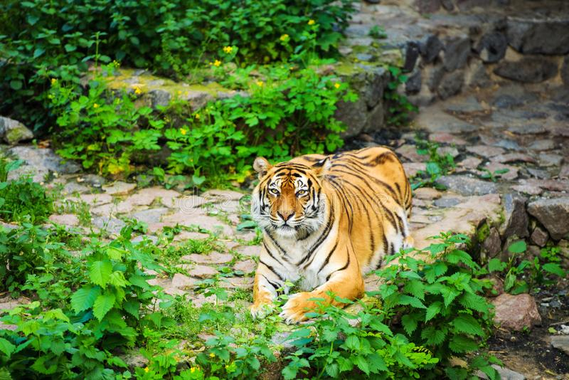 Beautiful tiger. Aggression, anger, angry, animal, asia, background, beast, beauty, bengal, big, black, carnivore, cat, danger, expression, eyes, face, fauna royalty free stock photos