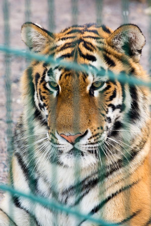 Beautiful tiger in a cage. Dangerous predator. Portrait of a tiger in a zoo behind bars. Wildlife protection royalty free stock photography