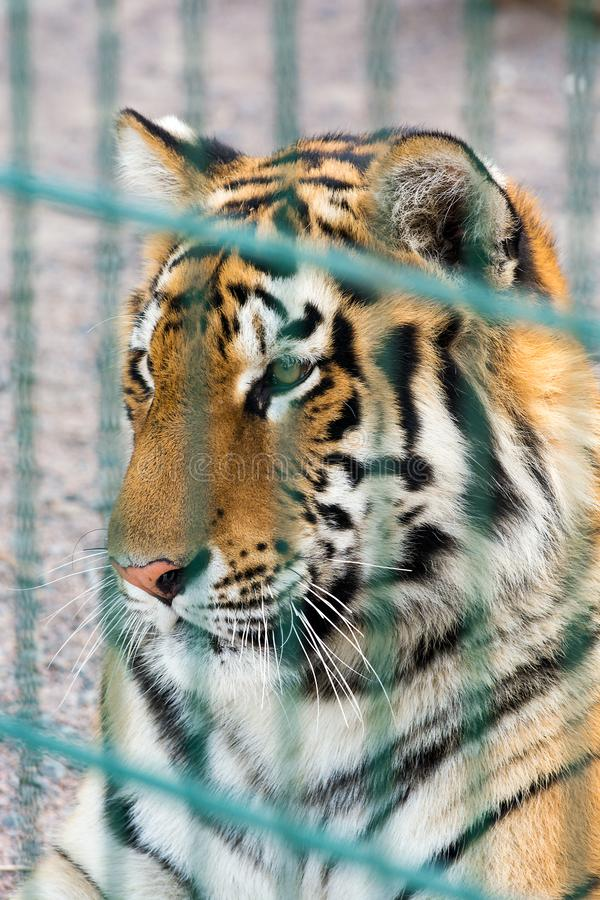 Beautiful tiger in a cage. Dangerous predator. Portrait of a tiger in a zoo behind bars. Wildlife protection stock image