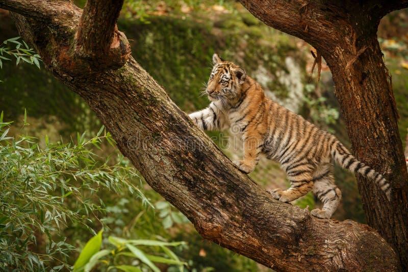 Beautiful tiger cub on a tree royalty free stock photo