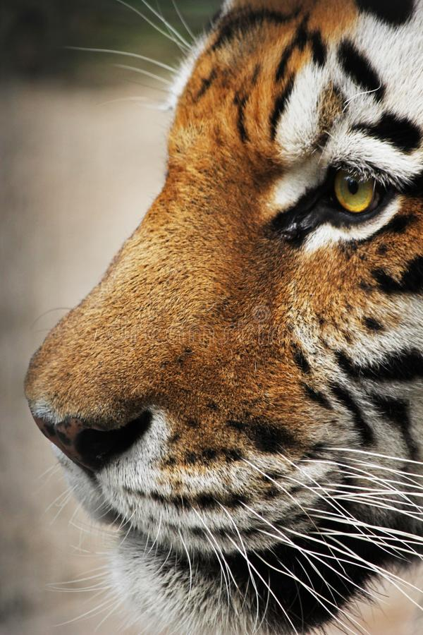 Beautiful tiger face. In profile royalty free stock photo