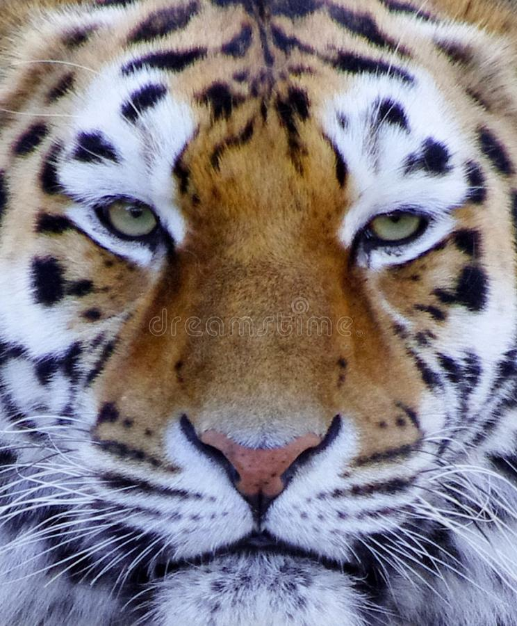 Tiger face close up in color. Beautiful Tiger face close up in color royalty free stock image