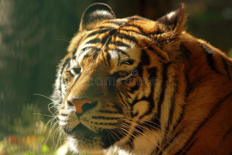 Beautiful tiger head. Portrait of captive animal at the zoo royalty free stock photos