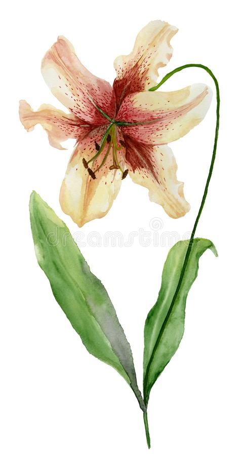 Beautiful tiger lily flower on a stem with green leaves. Watercolor painting. Floral illustration. Hand painted. Isolated on white background. Vertical vector illustration
