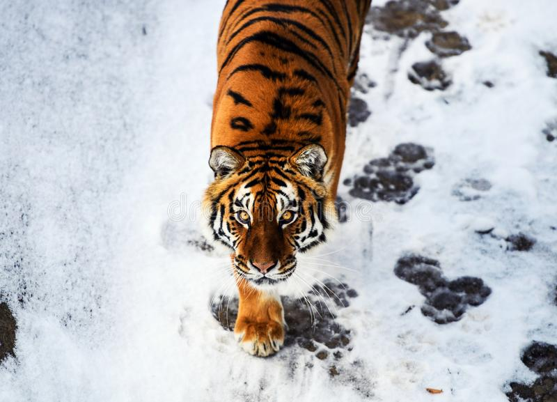 Beautiful tiger portrait. Hunt, action, aggression, aggressive, angry, animal, background, beauty, bengal, big, carnivore, cat, danger, expression, face royalty free stock photo