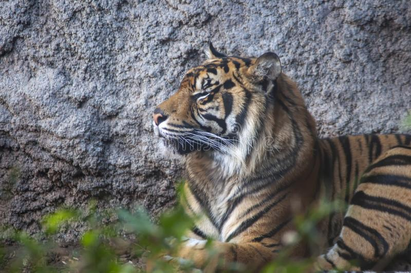 Wild animal, Sumatran Tiger. Beautiful tiger in a state of relaxation royalty free stock photo