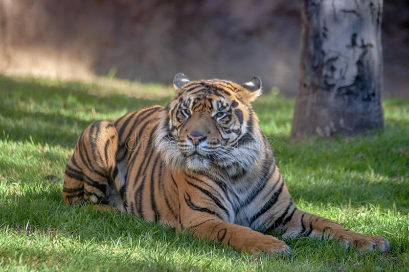Wild animal, Sumatran Tiger. Beautiful tiger in a state of relaxation stock photography