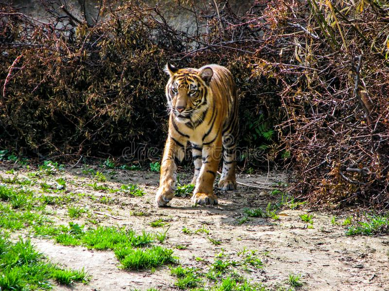 Beautiful tiger in sunny day - whole body.  royalty free stock photography